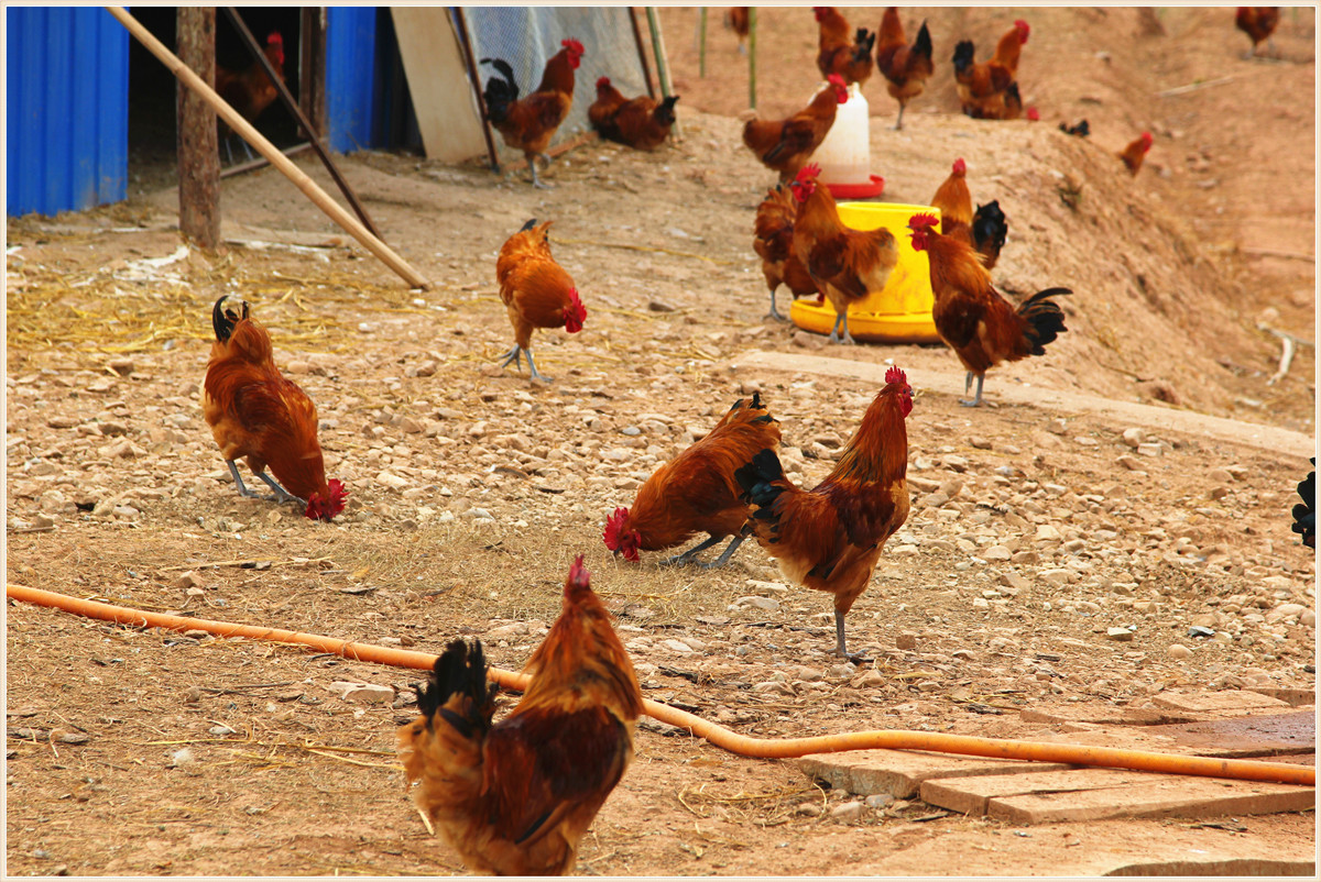 12博手机雷竹鸡第二批上市